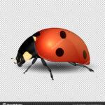Blank Ladybug Template | Vector Close Up Realistic Ladybug For Blank Ladybug Template